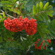 Stock Photo: Rowan fruit