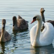 Swan - Cygnus olor — Stock Photo