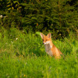Stock Photo: Fox, red fox - Vulpes vulpes