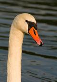 Swan - Cygnus olor — Stock Photo