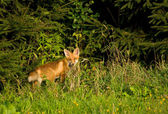Fox, red fox - Vulpes vulpes — Stock Photo