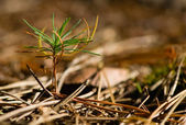 Seedling pine — Stock Photo