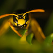 Wasp insect — Stock Photo