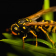 Wasp insect — Stock Photo #14171373