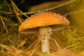 Fly agaric, Amanita muscaria — Stock Photo