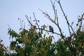 Common Jay, Jay - Garrulus glandarius — Stock Photo