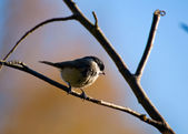 Blackface ordinary, Black-tit, Blackface, Blackface tit - Poecile montanus — Stock Photo