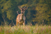 Fallow deer - Dama dama — Stock Photo