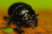 Manure beetle, beetle lout, beetle forest - Geotrupes stercorarius — Stock Photo