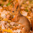 Red squirrel - Sciurus vulgaris — Stock Photo #14286685