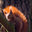 Stock Photo: Red squirrel - Sciurus vulgaris