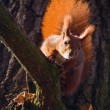 Red squirrel - Sciurus vulgaris — Stock Photo #14290045