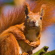 Red squirrel - Sciurus vulgaris — Stock Photo #14293593