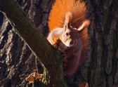 Red squirrel - Sciurus vulgaris — Stock Photo