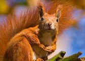 Red Squirrel - Sciurus vulgaris — Stockfoto