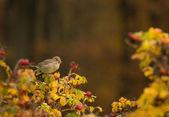 Greenfinch, linnet ordinary, Chloris chloris — Stock Photo