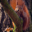 Red squirrel - Sciurus vulgaris — Stock Photo #14323821