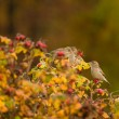 Greenfinch, linnet ordinary, Chloris chloris — Stock Photo #14432485
