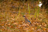 Garrulus glandarius - Jay — Stock Photo