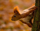 Red squirrel - Sciurus vulgaris — Stock Photo