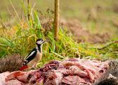 Woodpecker - Dendrocopos major — Stock Photo