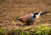 Common Jay, Jay - Garrulus glandarius — Stock Photo