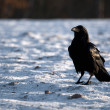 Stock Photo: Black Raven