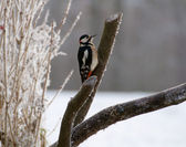 Woodpecker - Dendrocopos major — Stock Photo