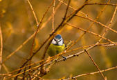 Common Blue Tit, Blue Tit, blue tit, tits Cyanistes — Stock Photo