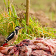 Stock Photo: Woodpecker - Dendrocopos major