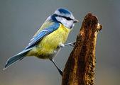 Common Blue Tit — Stock Photo