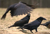 Black Raven — Stock Photo