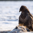 Buzzard — Stock Photo