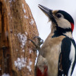 Stock Photo: Woodpecker