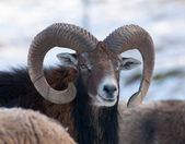 Mouflon — Stock Photo