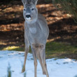 Roe deer — Foto Stock #21314831