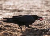 Black Raven — Stock Photo