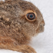 Small Hare - Stock Photo