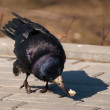 Stock Photo: Rook bird