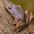 Moor frog — Stock Photo