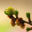 Stock Photo: Larch flower