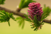 Larch flower — Stock Photo