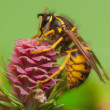 Larch flower and wasp — Stock Photo