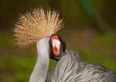 Żuraw ptak — Zdjęcie stockowe