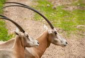 Oryx dammah — Stock Photo
