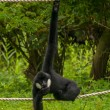 Gibbon — Stock Photo #28491177