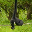 Gibbon — Stock Photo #28491595