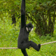 Gibbon — Stock Photo #28492303