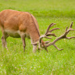 Cervus elaphus — Stock Photo #28493775