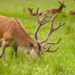Cervus elaphus — Stock Photo